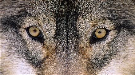 yeux loup